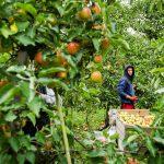22-10-2015 : appelkweker Luc Borgugnons maakt overstap naar perenkwekerij