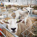 bij schapenboer Van Bulck worden veel kreupele lammetjes geboren door een virus